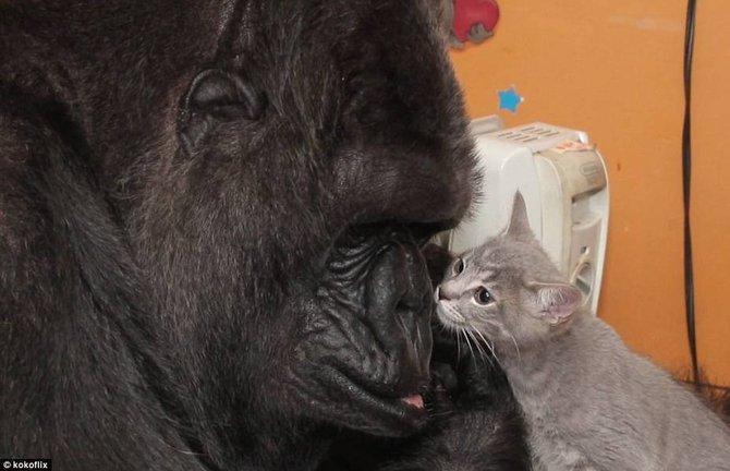 美国旧金山动物园大猩猩无子收养小猫当孩子