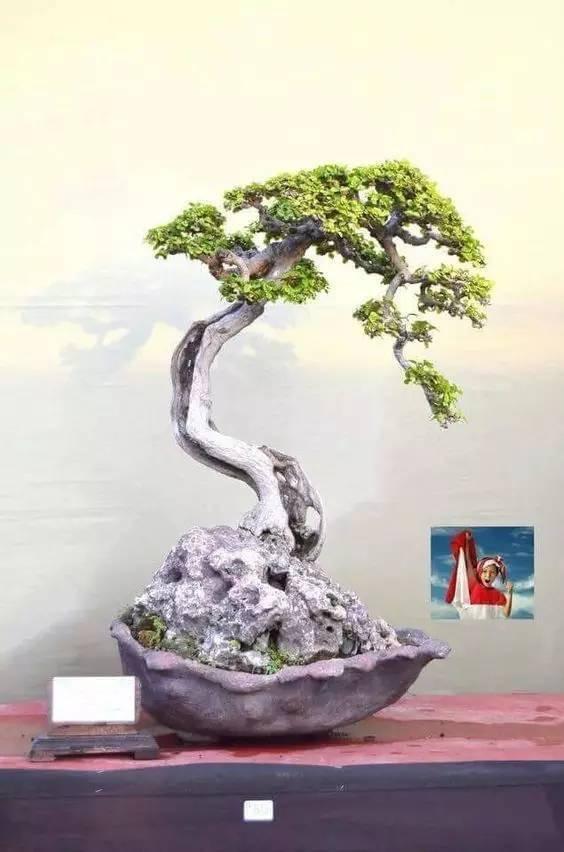 榕树盆景提根与修剪,养植方法如下:1.树形制作榕树盆景造型,应把主要.