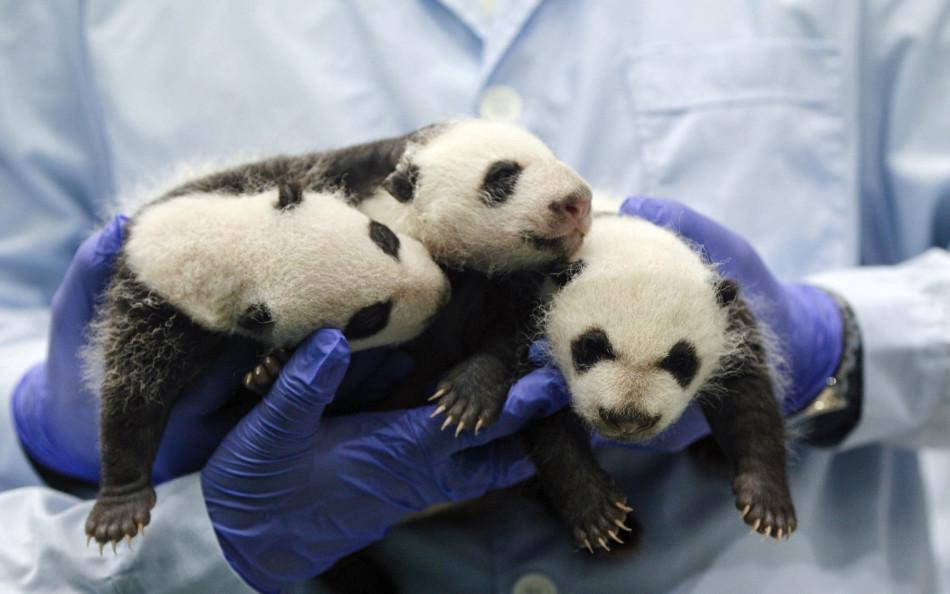 长隆野生动物园的熊猫三胞胎满月