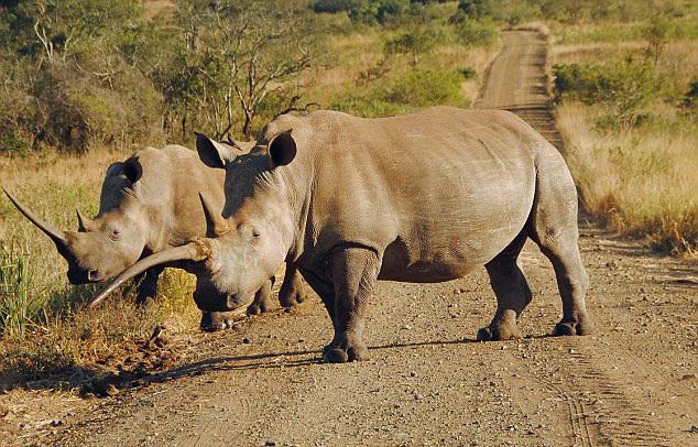 壁纸 大象 动物 犀牛 野生动物 634_406