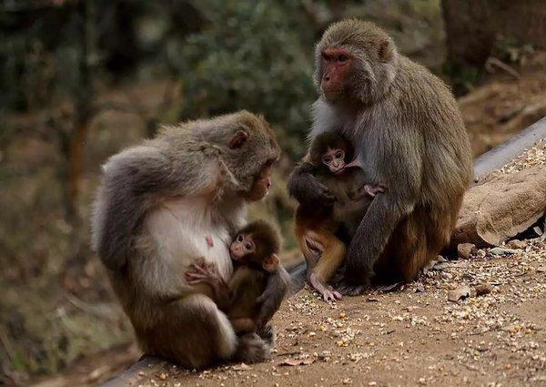 长大一些母猴子就会要求它们自己掌握生存本领,猴子对子女并不溺爱.