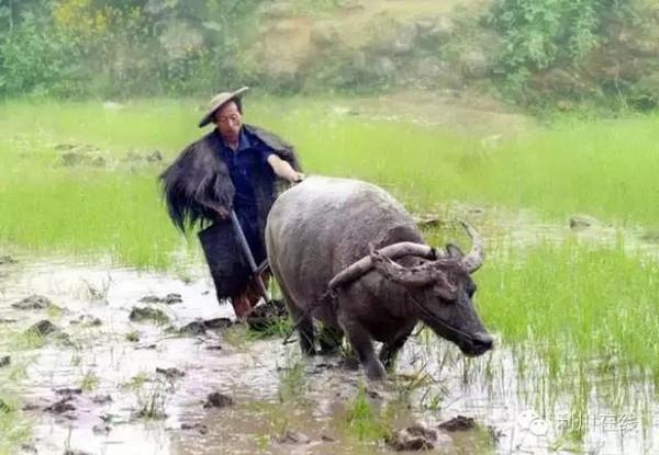 泰国农村稻田动物