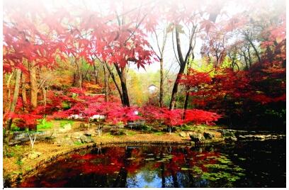 """栖霞山风景区管理处的人士介绍,目前景区的鸡爪槭已达到其""""盛花期""""."""